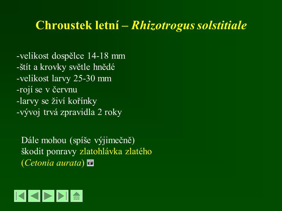 Chroustek letní – Rhizotrogus solstitiale -velikost dospělce 14-18 mm -štít a krovky světle hnědé -velikost larvy 25-30 mm -rojí se v červnu -larvy se