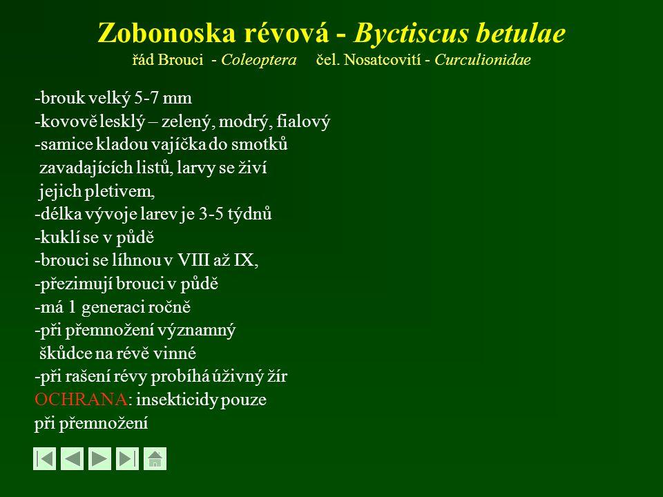 Zobonoska révová - Byctiscus betulae řád Brouci - Coleoptera čel. Nosatcovití - Curculionidae -brouk velký 5-7 mm -kovově lesklý – zelený, modrý, fial