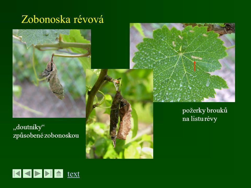 """Zobonoska révová """"doutníky"""" způsobené zobonoskou požerky brouků na listu révy text"""
