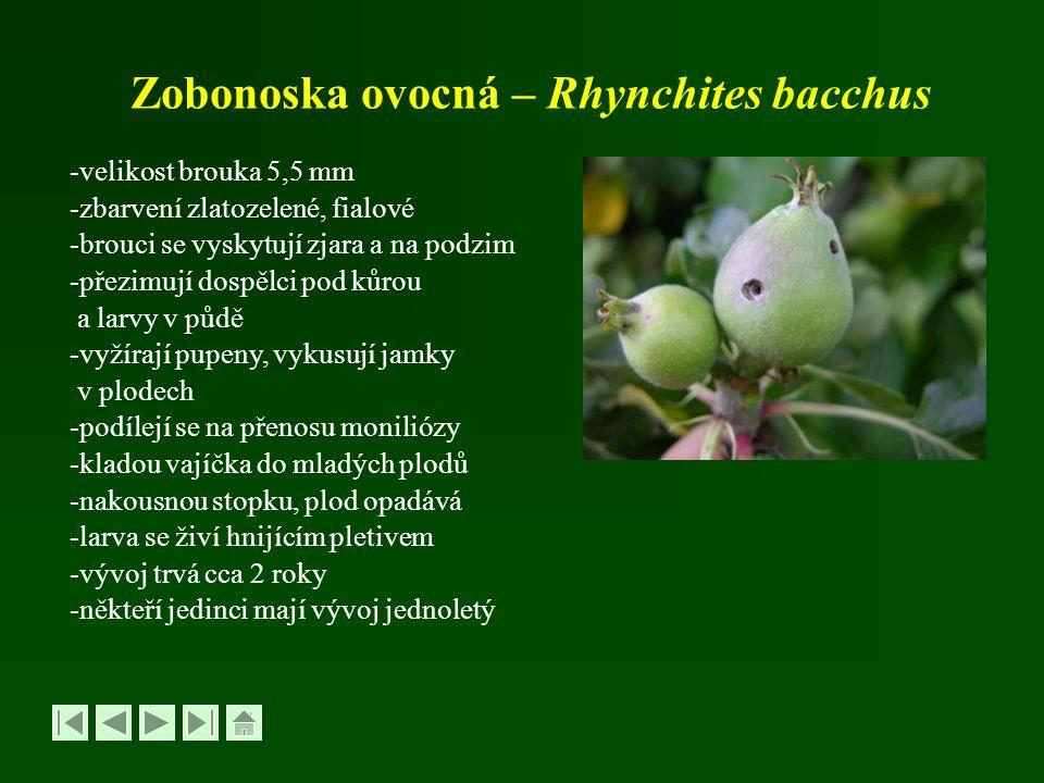 Zobonoska ovocná – Rhynchites bacchus -velikost brouka 5,5 mm -zbarvení zlatozelené, fialové -brouci se vyskytují zjara a na podzim -přezimují dospělc