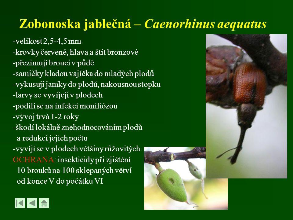 Zobonoska jablečná – Caenorhinus aequatus -velikost 2,5-4,5 mm -krovky červené, hlava a štít bronzové -přezimují brouci v půdě -samičky kladou vajíčka