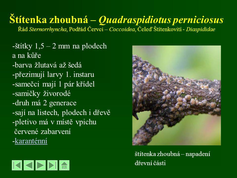 Štítenka zhoubná – Quadraspidiotus perniciosus Řád Sternorrhyncha, Podřád Červci – Coccoidea, Čeleď Štítenkovití - Diaspididae -štítky 1,5 – 2 mm na p