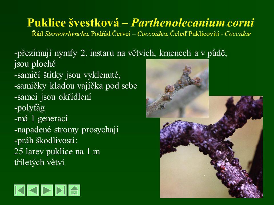 Puklice švestková – Parthenolecanium corni Řád Sternorrhyncha, Podřád Červci – Coccoidea, Čeleď Puklicovití - Coccidae -přezimují nymfy 2. instaru na