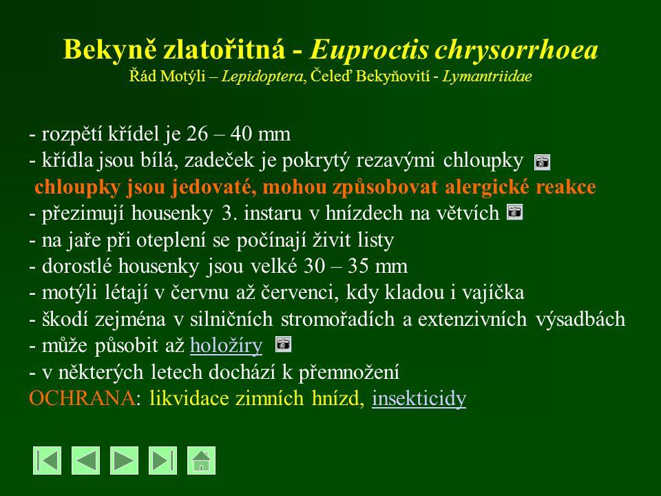 Bekyně zlatořitná - Euproctis chrysorrhoea Řád Motýli – Lepidoptera, Čeleď Bekyňovití - Lymantriidae - rozpětí křídel je 26 – 40 mm - křídla jsou bílá