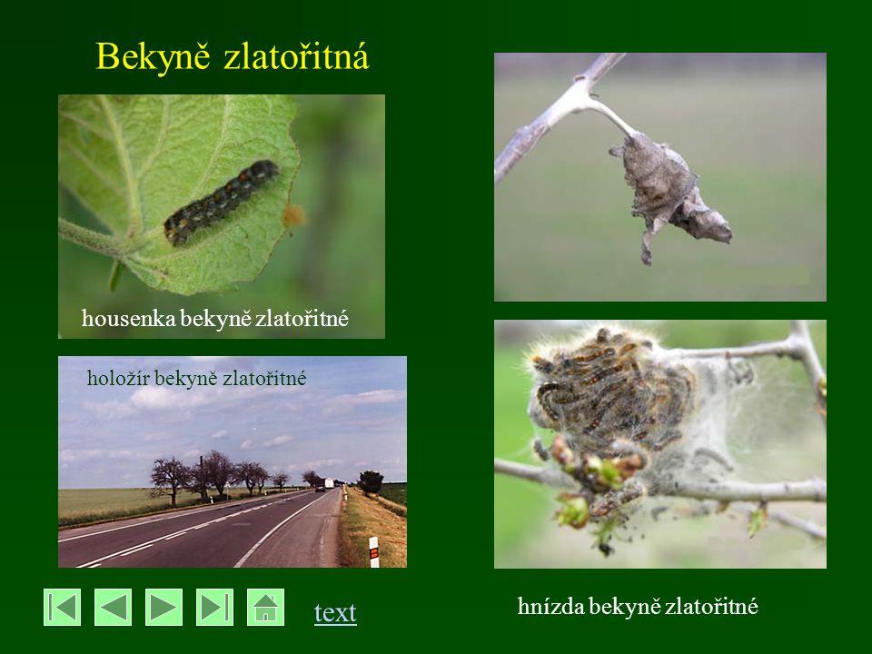 Bekyně velkohlavá - Lymantria dispar - rozpětí křídel je 35-40mm, u samic až 60 mm - motýli létají v červenci až srpnu - samci šedohnědí s tmavou kresbou, samice bílé až nažloutlé s nevýraznou kresbou - přezimují vajíčka kladená na kmeny stromů, překrytá chloupky (tzv.