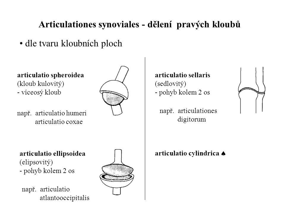 Articulationes synoviales - dělení pravých kloubů • dle tvaru kloubních ploch articulatio spheroidea (kloub kulovitý) - víceosý kloub articulatio elli