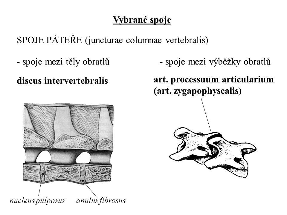 Vybrané spoje SPOJE PÁTEŘE (juncturae columnae vertebralis) - spoje mezi těly obratlů - spoje mezi výběžky obratlů discus intervertebralis nucleus pul