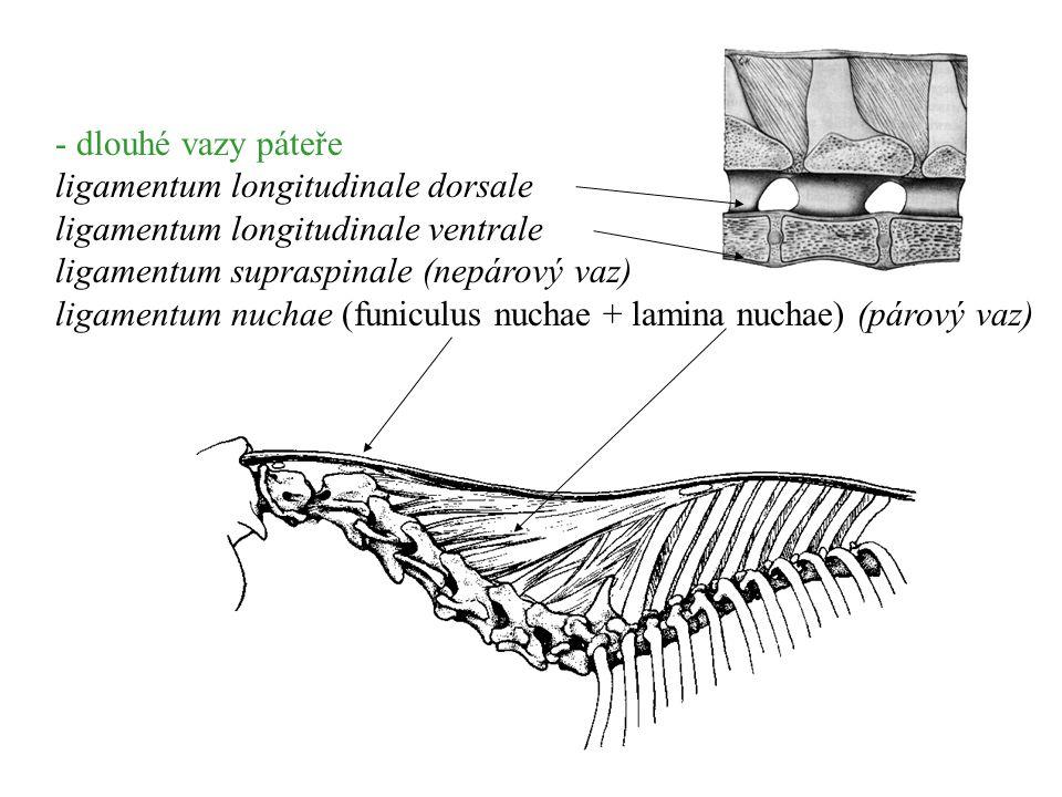 - dlouhé vazy páteře ligamentum longitudinale dorsale ligamentum longitudinale ventrale ligamentum supraspinale (nepárový vaz) ligamentum nuchae (funi