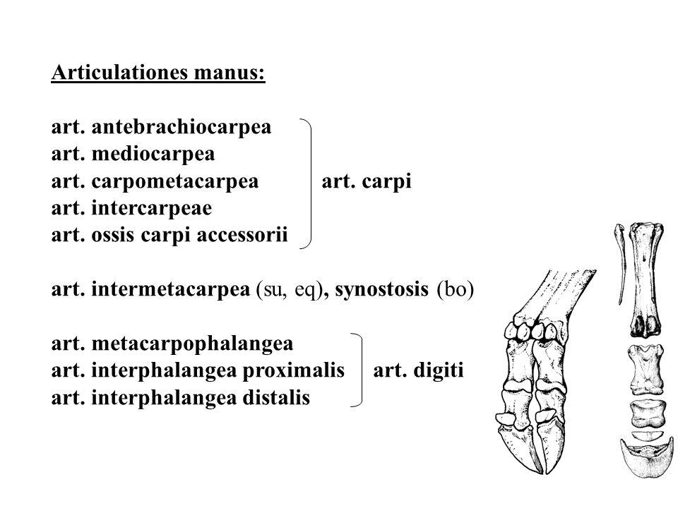Articulationes manus: art. antebrachiocarpea art. mediocarpea art. carpometacarpea art. carpi art. intercarpeae art. ossis carpi accessorii art. inter