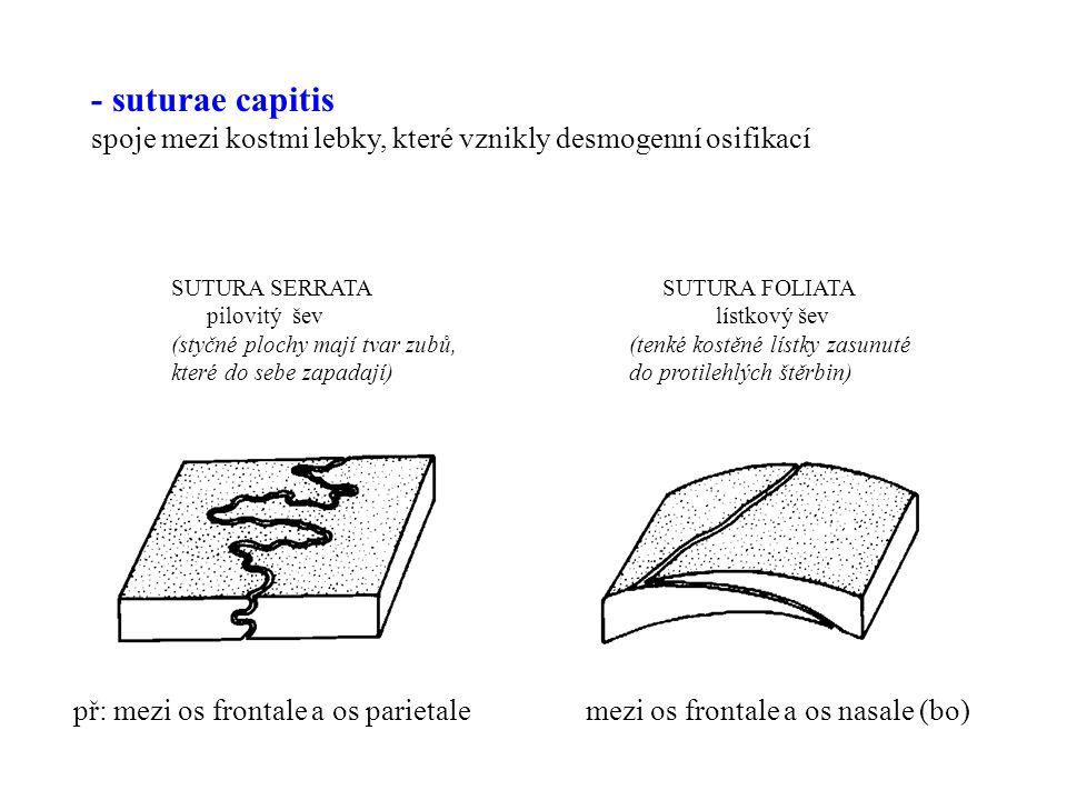 SUTURA SQUAMOSA SUTURA PLANA šupinovitý šev plochý šev (dotykové plochy mají tvar šupiny) (dotykové plochy jsou rovné) př: mezi os parietale a mezi párovými os nasale (bo) pars squamosa ossis temporalis (ho)