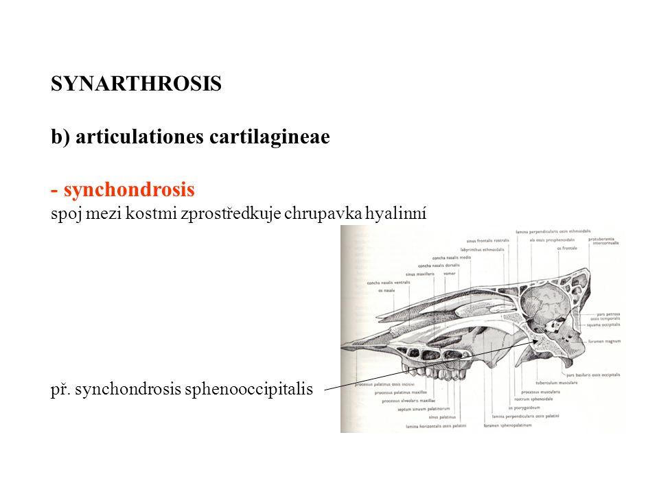 SYNARTHROSIS b) articulationes cartilagineae - synchondrosis spoj mezi kostmi zprostředkuje chrupavka hyalinní př. synchondrosis sphenooccipitalis