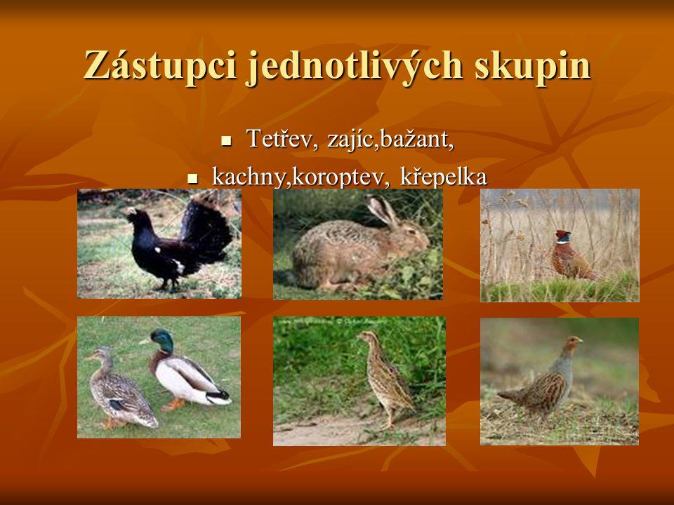 Zástupci jednotlivých skupin  Tetřev, zajíc,bažant,  kachny,koroptev, křepelka
