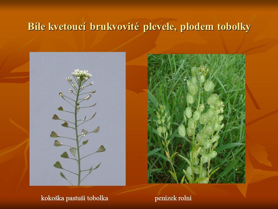 Bíle kvetoucí brukvovité plevele, plodem tobolky kokoška pastuší tobolkapenízek rolní