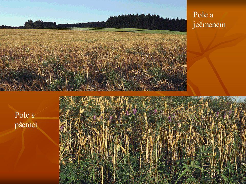Pole a ječmenem Pole s pšenicí