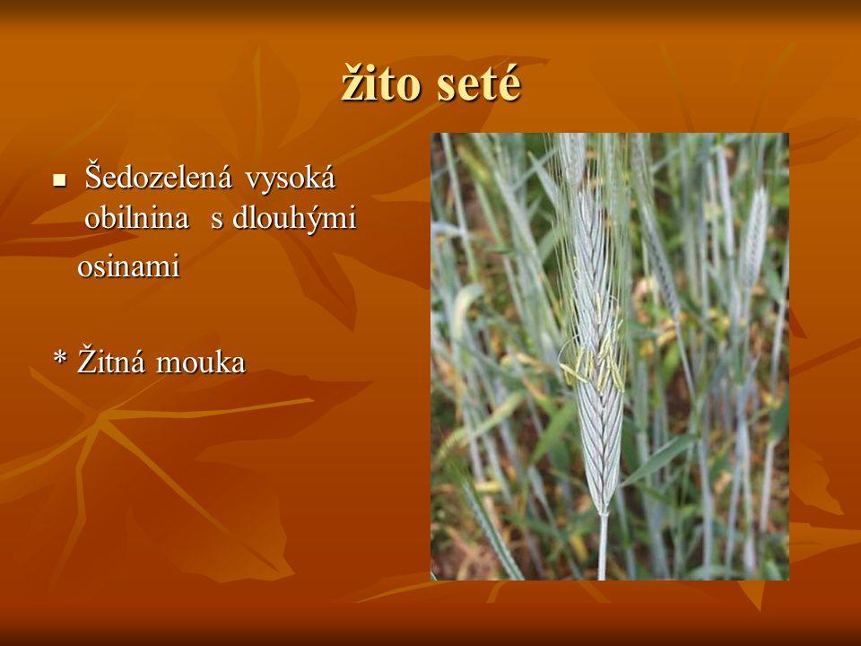žito seté  Šedozelená vysoká obilnina s dlouhými osinami osinami * Žitná mouka