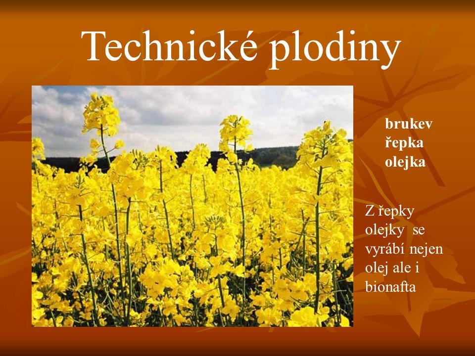 Technické plodiny brukev řepka olejka Z řepky olejky se vyrábí nejen olej ale i bionafta