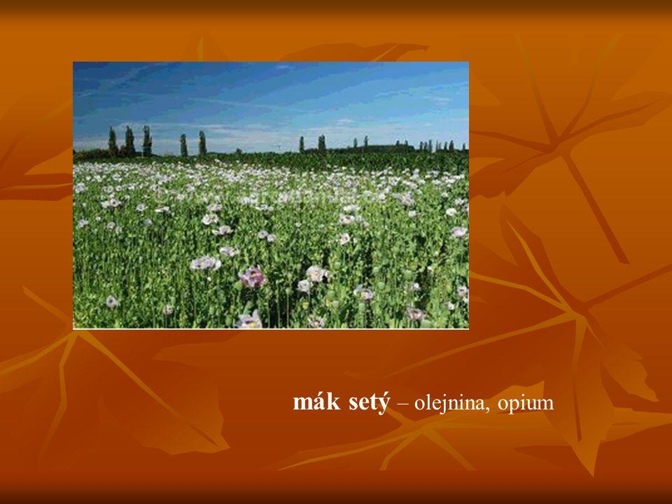 mák setý – olejnina, opium