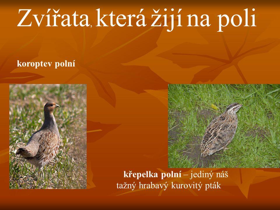 Zvířata, která žijí na poli koroptev polní křepelka polní – jediný náš tažný hrabavý kurovitý pták