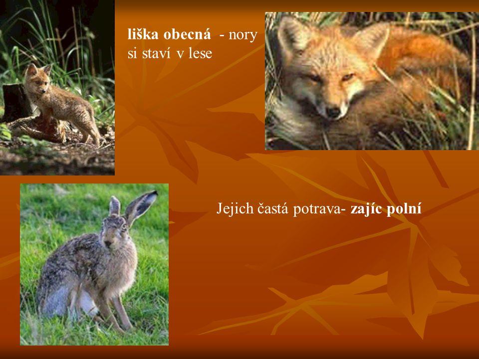liška obecná - nory si staví v lese Jejich častá potrava- zajíc polní