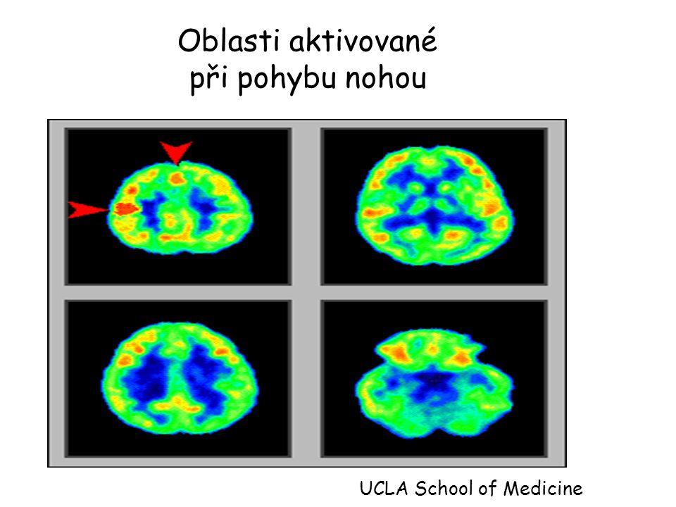 Oblasti aktivované při pohybu nohou UCLA School of Medicine