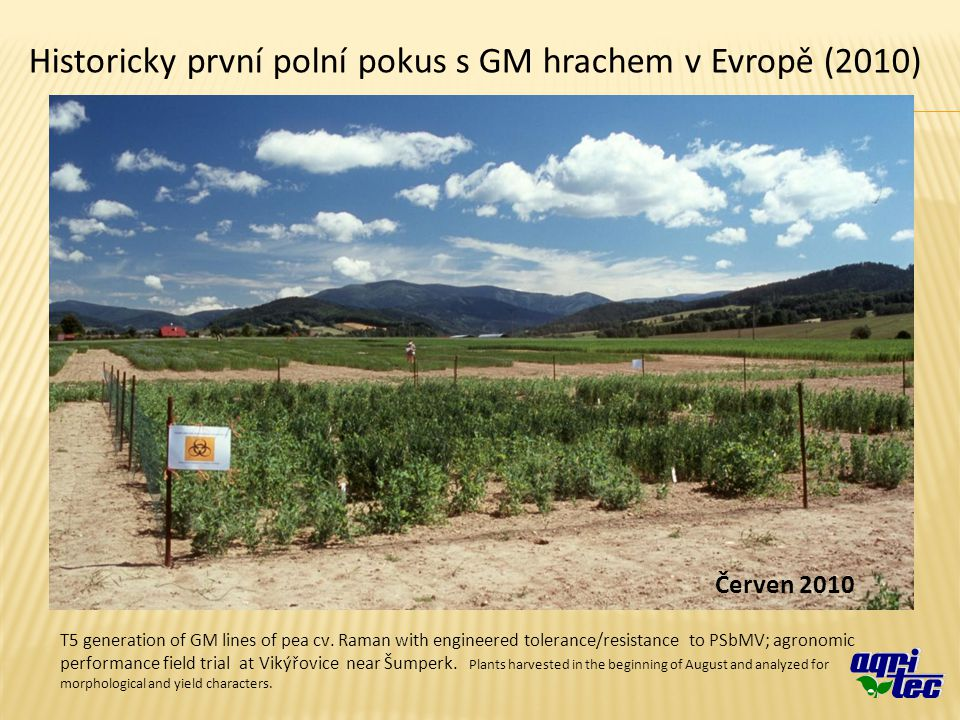 T5 generation of GM lines of pea cv. Raman with engineered tolerance/resistance to PSbMV; agronomic performance field trial at Vikýřovice near Šumperk