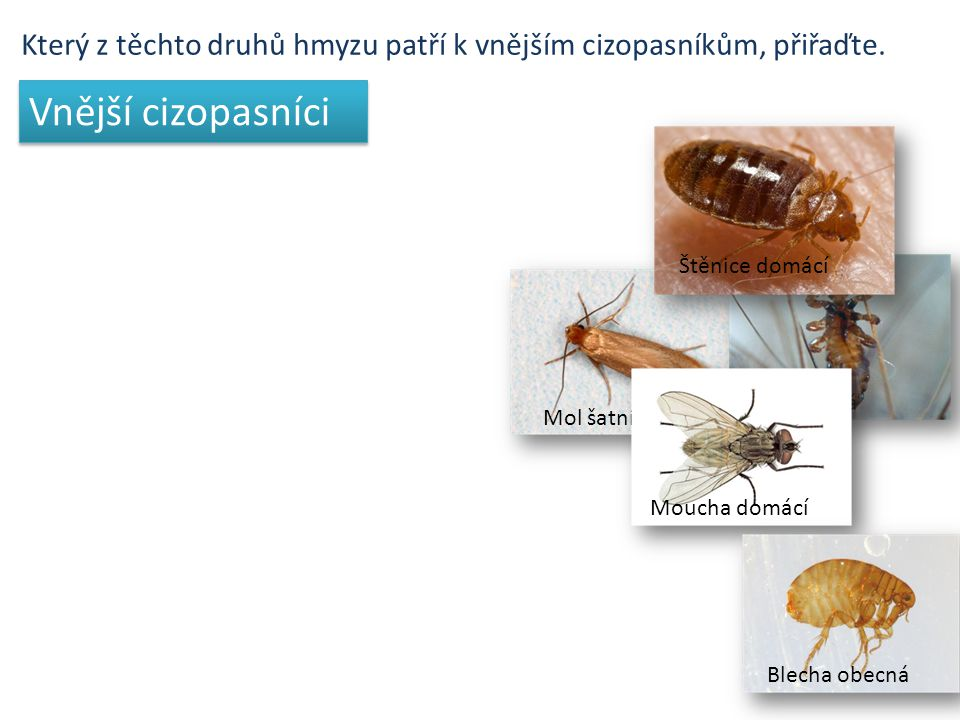 Který z těchto druhů hmyzu patří k vnějším cizopasníkům, přiřaďte. Mol šatníVeš dětská Štěnice domácíMoucha domácíBlecha obecná Vnější cizopasníci