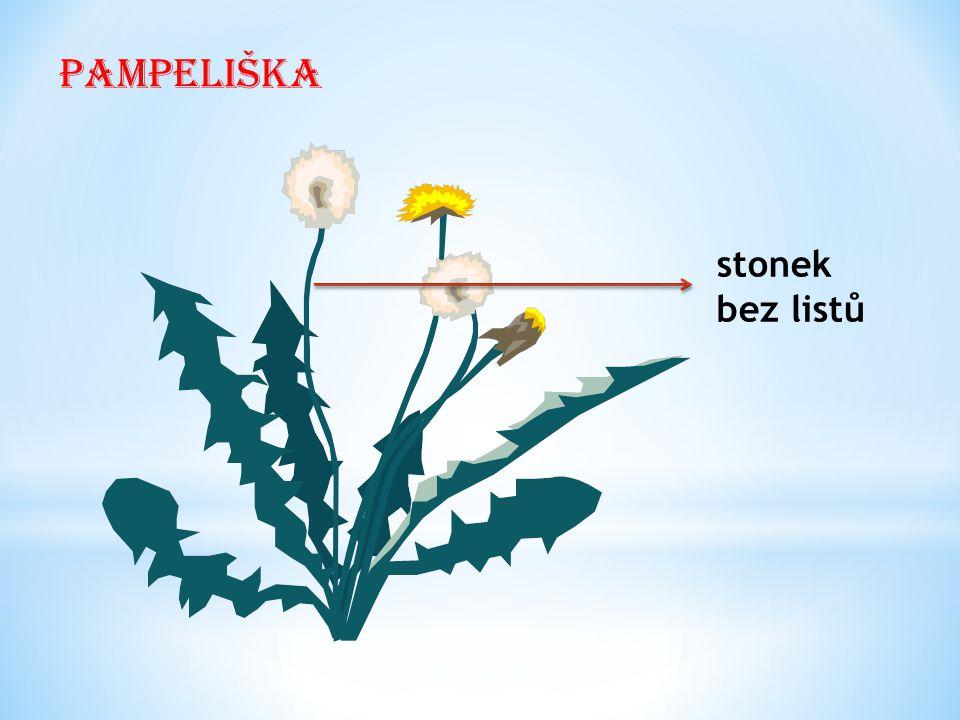 Pampeliška stonek bez listů
