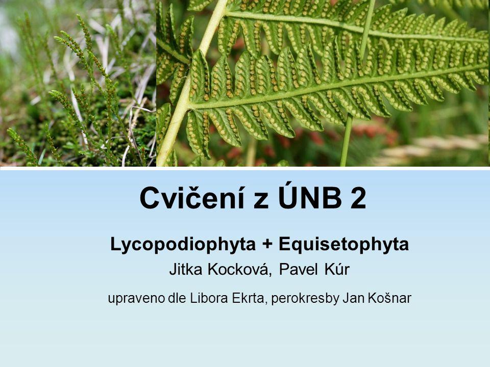 Cvičení z ÚNB 2 Lycopodiophyta + Equisetophyta Jitka Kocková, Pavel Kúr upraveno dle Libora Ekrta, perokresby Jan Košnar