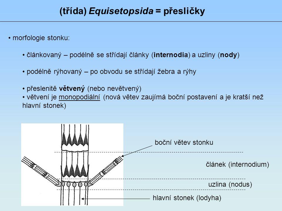 (třída) Equisetopsida = přesličky • morfologie stonku: • článkovaný – podélně se střídají články (internodia) a uzliny (nody) • podélně rýhovaný – po obvodu se střídají žebra a rýhy • přeslenitě větvený (nebo nevětvený) • větvení je monopodiální (nová větev zaujímá boční postavení a je kratší než hlavní stonek) článek (internodium) uzlina (nodus) hlavní stonek (lodyha) boční větev stonku