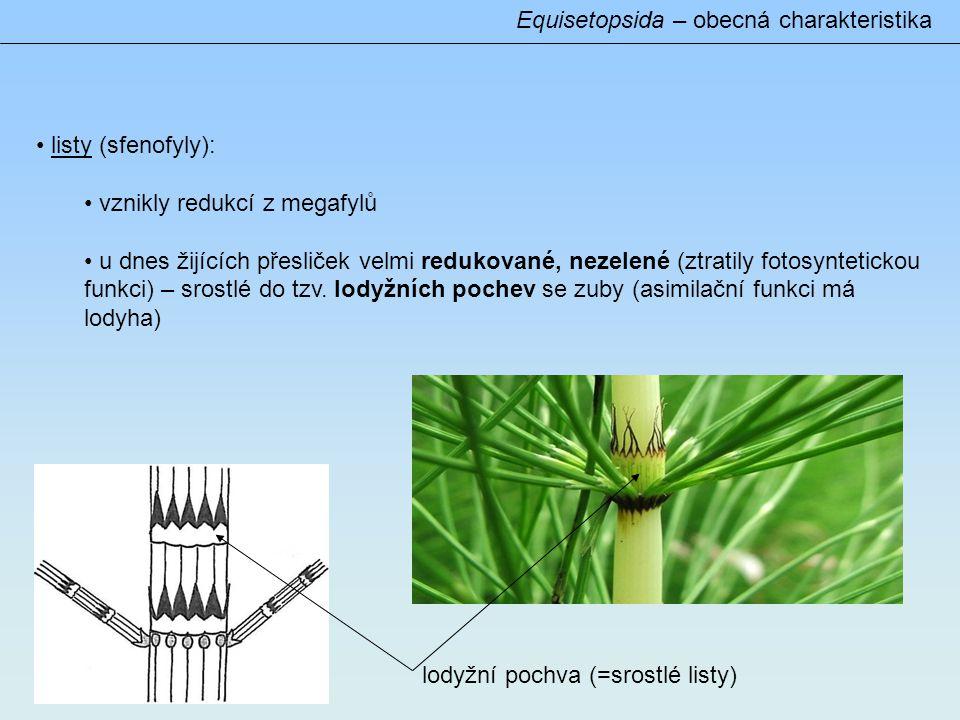 Equisetopsida – obecná charakteristika • listy (sfenofyly): • vznikly redukcí z megafylů • u dnes žijících přesliček velmi redukované, nezelené (ztratily fotosyntetickou funkci) – srostlé do tzv.