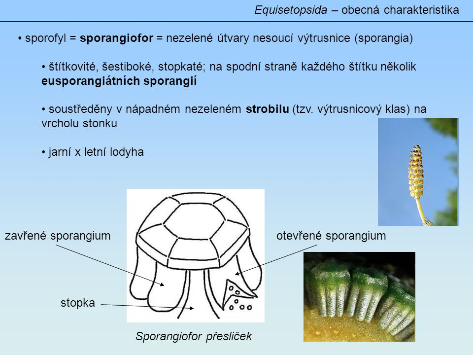 Equisetopsida – obecná charakteristika • sporofyl = sporangiofor = nezelené útvary nesoucí výtrusnice (sporangia) • štítkovité, šestiboké, stopkaté; na spodní straně každého štítku několik eusporangiátních sporangií • soustředěny v nápadném nezeleném strobilu (tzv.