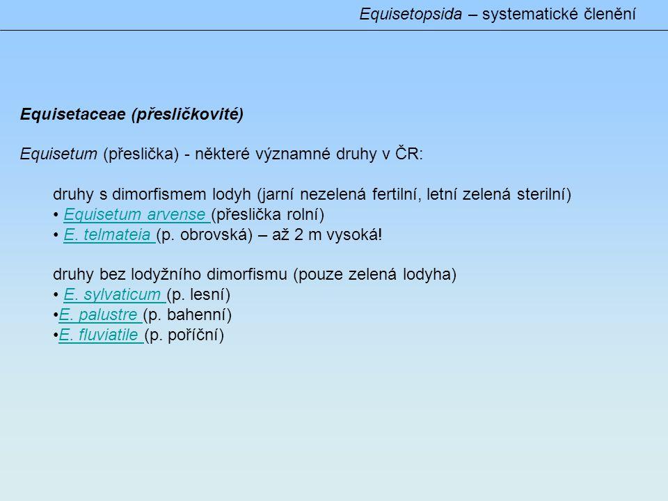 Equisetopsida – systematické členění Equisetaceae (přesličkovité) Equisetum (přeslička) - některé významné druhy v ČR: druhy s dimorfismem lodyh (jarní nezelená fertilní, letní zelená sterilní) • Equisetum arvense (přeslička rolní)Equisetum arvense • E.