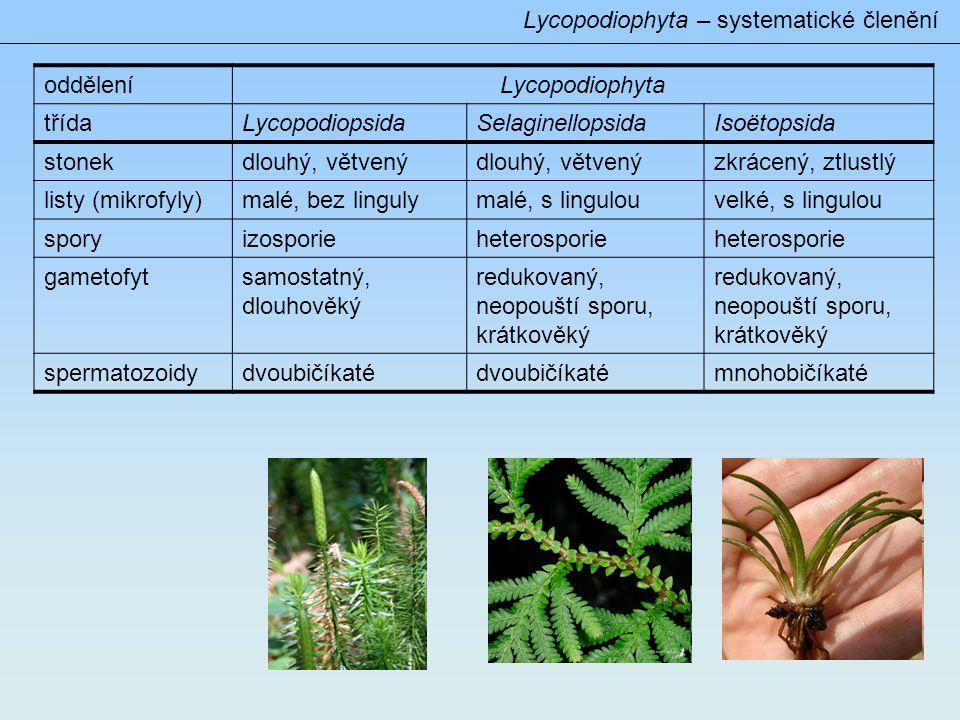 Lycopodiophyta – systematické členění odděleníLycopodiophyta třídaLycopodiopsidaSelaginellopsidaIsoëtopsida stonekdlouhý, větvený zkrácený, ztlustlý listy (mikrofyly)malé, bez lingulymalé, s lingulouvelké, s lingulou sporyizosporieheterosporie gametofytsamostatný, dlouhověký redukovaný, neopouští sporu, krátkověký spermatozoidydvoubičíkaté mnohobičíkaté
