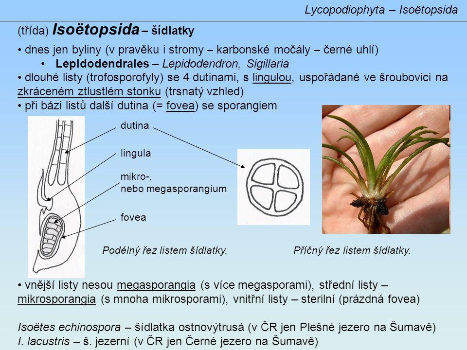 Lycopodiophyta – Isoëtopsida (třída) Isoëtopsida – šídlatky • dnes jen byliny (v pravěku i stromy – karbonské močály – černé uhlí) •Lepidodendrales – Lepidodendron, Sigillaria • dlouhé listy (trofosporofyly) se 4 dutinami, s lingulou, uspořádané ve šroubovici na zkráceném ztlustlém stonku (trsnatý vzhled) • při bázi listů další dutina (= fovea) se sporangiem • vnější listy nesou megasporangia (s více megasporami), střední listy – mikrosporangia (s mnoha mikrosporami), vnitřní listy – sterilní (prázdná fovea) Isoëtes echinospora – šídlatka ostnovýtrusá (v ČR jen Plešné jezero na Šumavě) I.
