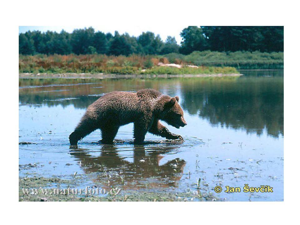 Rozmnožování • Medvěd brtník je příkladem dalšího monogamně žijícího živočicha.