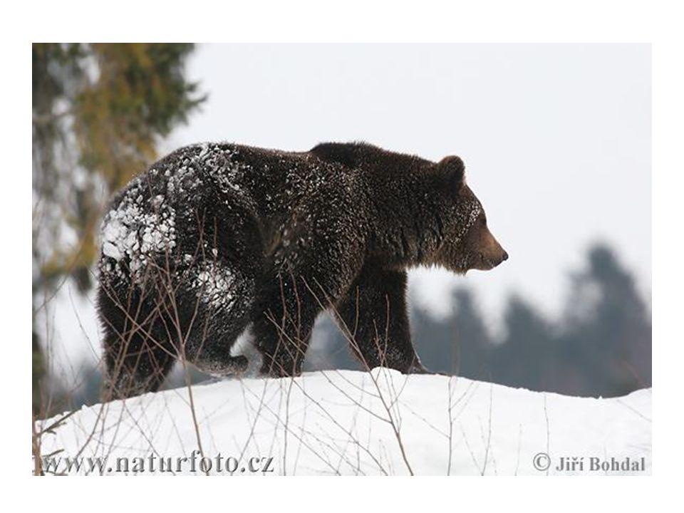 Ochrana • Evropské stavy medvědů jsou na kritické hranici. Ochrana je zde proto namístě.