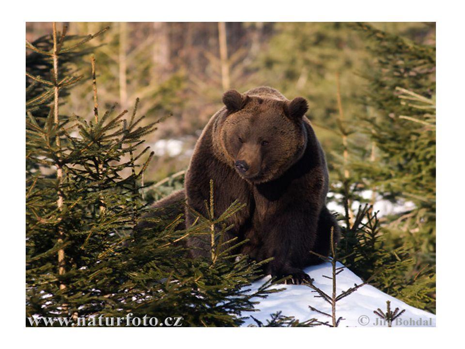 Vzhled • Po celé délce těla má medvěd brtník hnědé zbarvení.