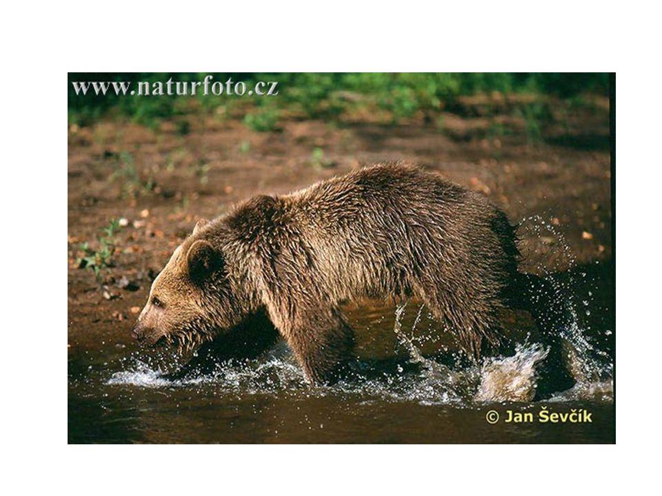 Rozšíření • Medvěda brtníka můžeme spatřit nejen v celé Evropě, ale i v Asii a Severní Americe.
