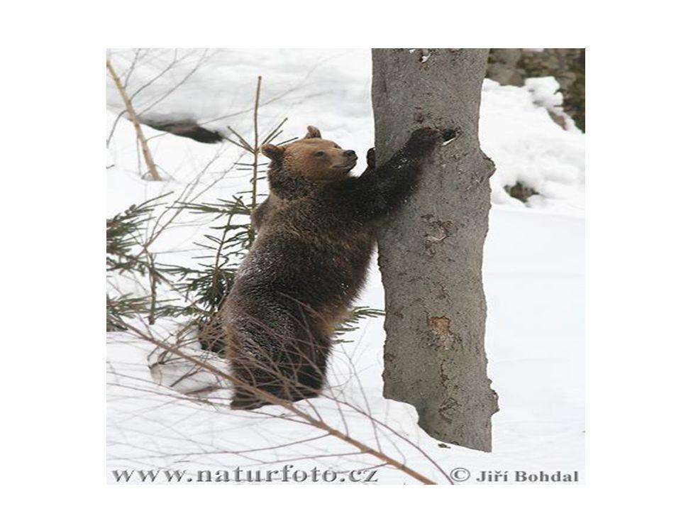 Způsob života a potrava • Medvědi jsou obecně samotářskými typy, takže kromě období reprodukce žijí raději bez závazků.