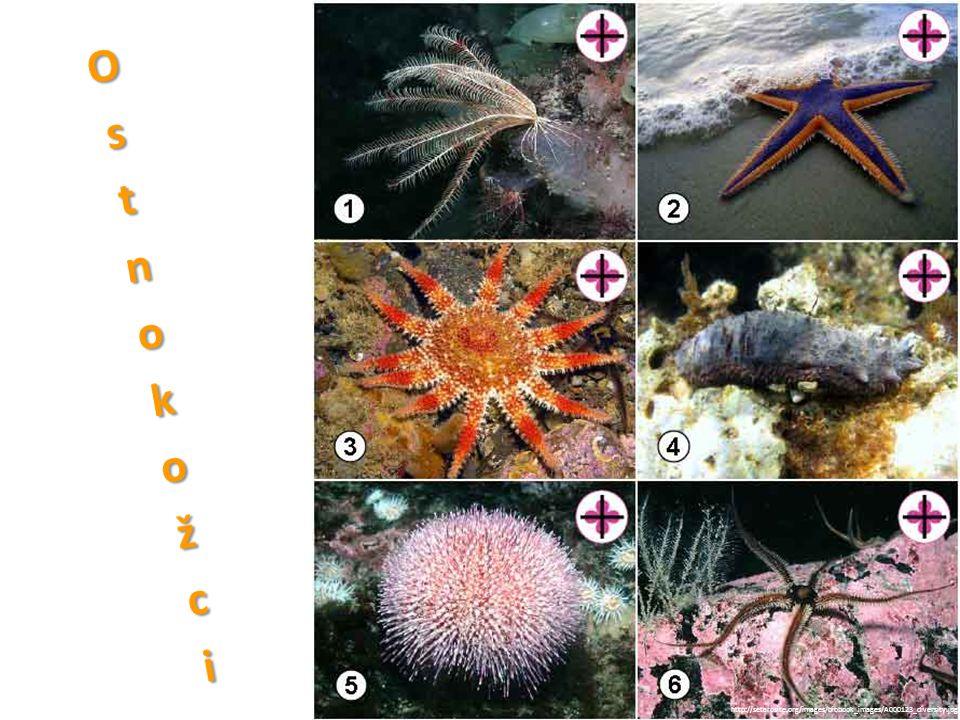 • starobylí, mořští • paprsčitě souměrní (larvy dvoustranně souměrné) • tělo vyztuženo vápenatými destičkami či ostny • regenerace • většina volně pohyblivá http://www.allfons.ru/pic/201201/2560x1600/allfons.ru-4854.jpg http://www.kudalaut.eu/thumb/400/w/categorie-foto/3846.jpg/Stella-di-mare-Fromia-ghardaqana-Rigenerazione.jpg http://www.kbi.zcu.cz/OB/veda/paleontologie/zoopaleontologie/ostnokozci/obr/echino_echi_anatom.gif