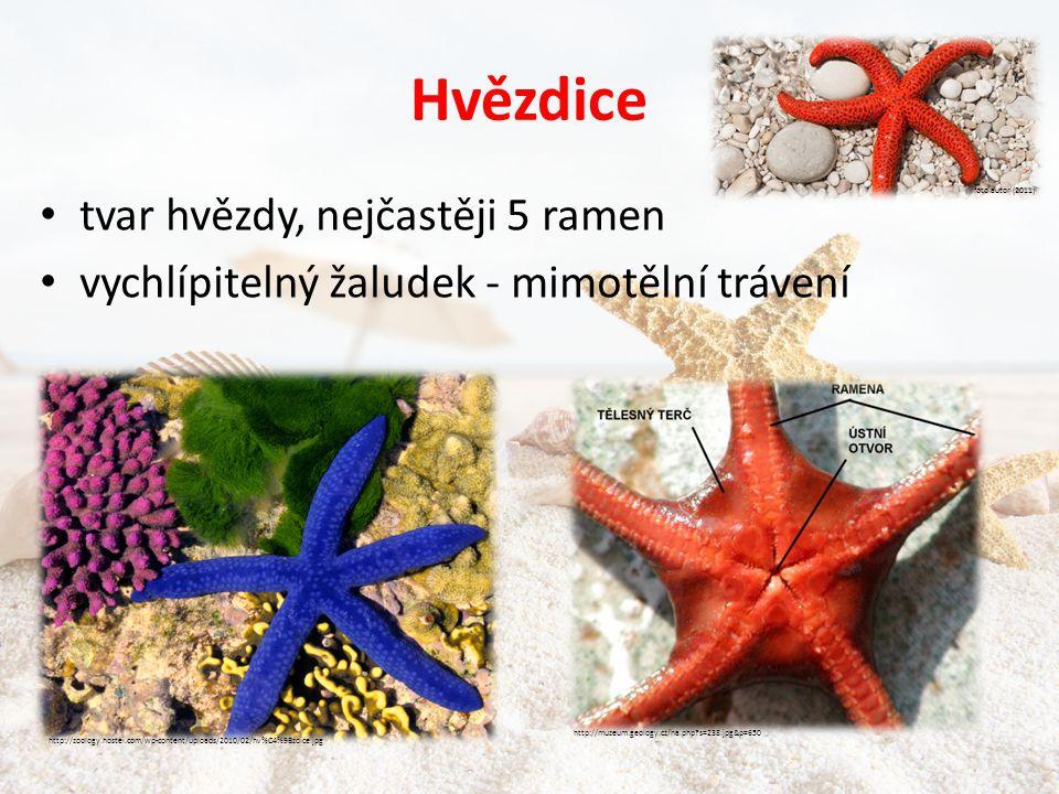 Hvězdice • tvar hvězdy, nejčastěji 5 ramen • vychlípitelný žaludek - mimotělní trávení foto autor (2011) http://zoology.hostei.com/wp-content/uploads/2010/02/hv%C4%9Bzdice.jpg http://muzeum.geology.cz/na.php?s=238.jpg&p=650