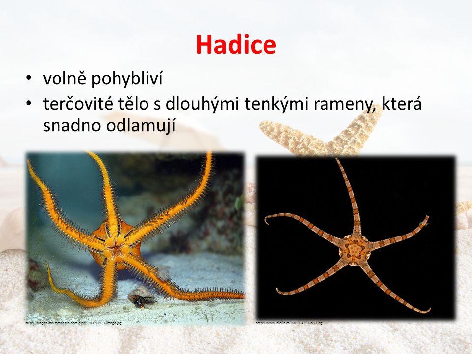 Hadice • volně pohybliví • terčovité tělo s dlouhými tenkými rameny, která snadno odlamují http://images.cdn.fotopedia.com/flickr-336017937-image.jpghttp://www.biolib.cz/IMG/GAL/36560.jpg