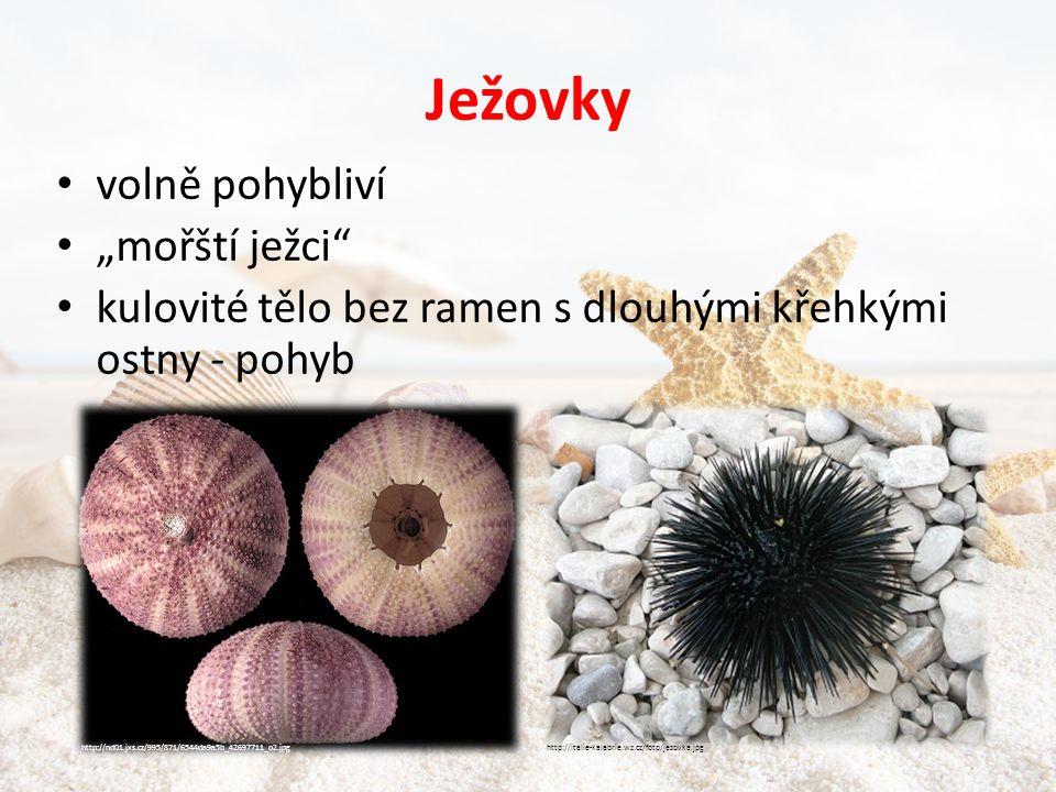 """Ježovky • volně pohybliví • """"mořští ježci • kulovité tělo bez ramen s dlouhými křehkými ostny - pohyb http://italie-kalabrie.wz.cz/foto/jezovka.jpghttp://nd01.jxs.cz/995/871/6544da9a5b_42697711_o2.jpg"""