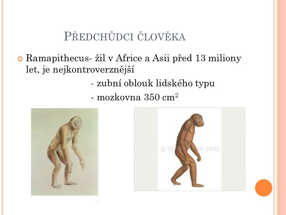 P ŘEDCHŮDCI ČLOVĚKA Ramapithecus- žil v Africe a Asii před 13 miliony let, je nejkontroverznější - zubní oblouk lidského typu - mozkovna 350 cm 2