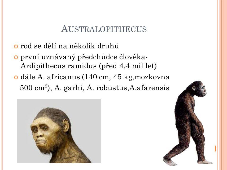 A USTRALOPITHECUS rod se dělí na několik druhů první uznávaný předchůdce člověka- Ardipithecus ramidus (před 4,4 mil let) dále A.