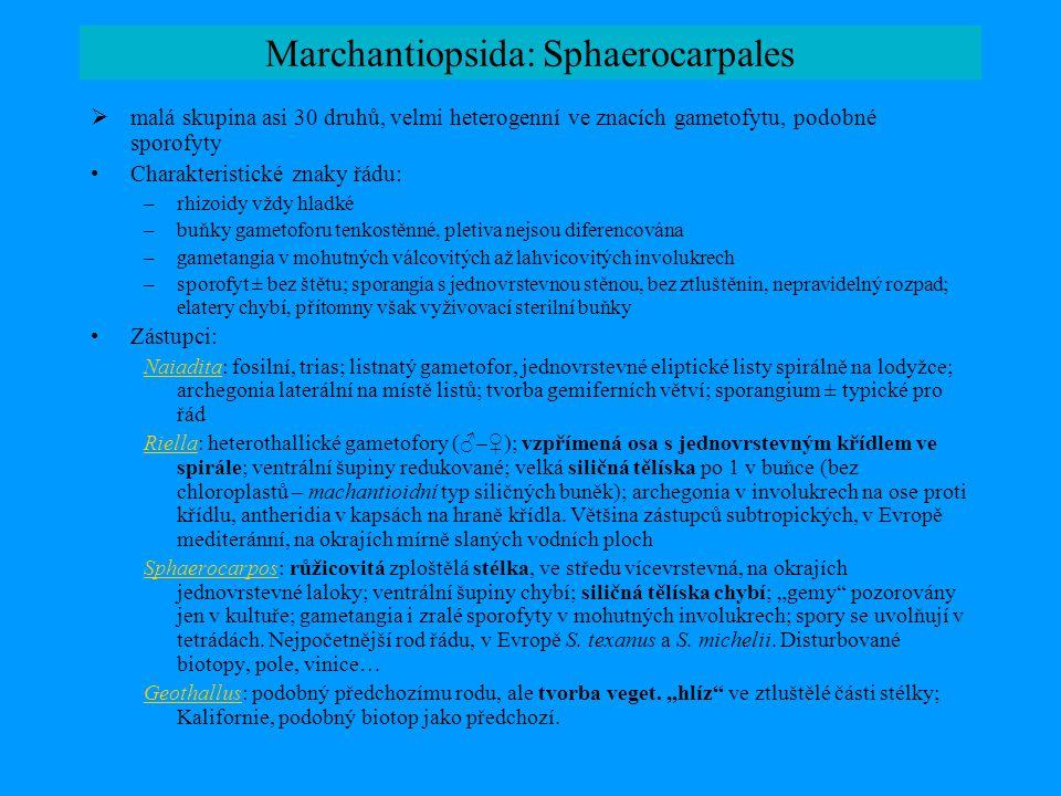 Marchantiopsida: Sphaerocarpales  malá skupina asi 30 druhů, velmi heterogenní ve znacích gametofytu, podobné sporofyty •Charakteristické znaky řádu: