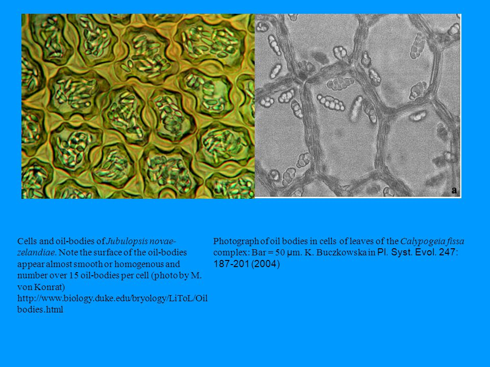 Photograph of oil bodies in cells of leaves of the Calypogeia fissa complex: Bar = 50 µ m. K. Buczkowska in Pl. Syst. Evol. 247: 187-201 (2004) Cells