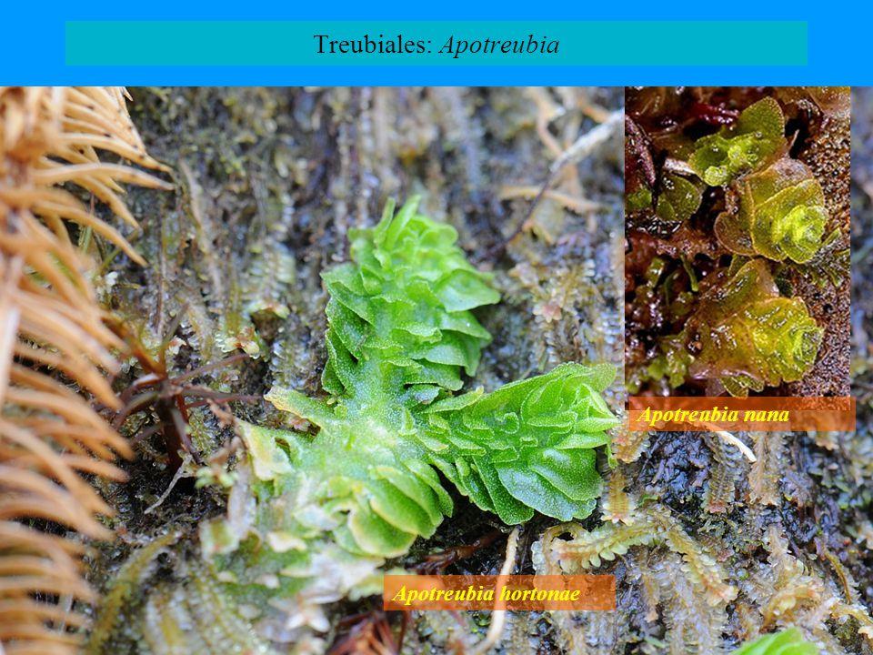 Treubiales: Apotreubia Apotreubia hortonae Apotreubia nana