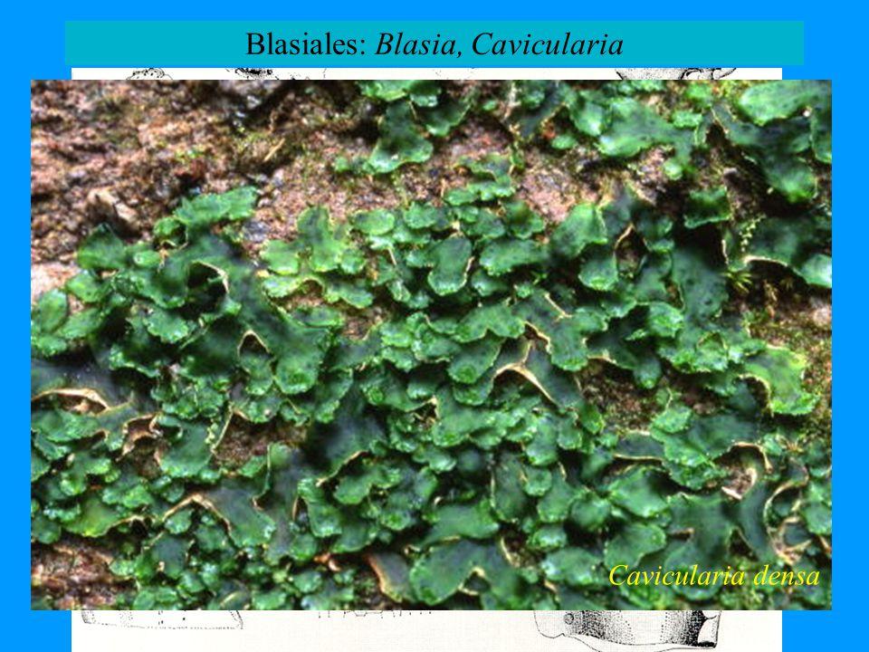 Cavicularia densa Blasiales: Blasia, Cavicularia