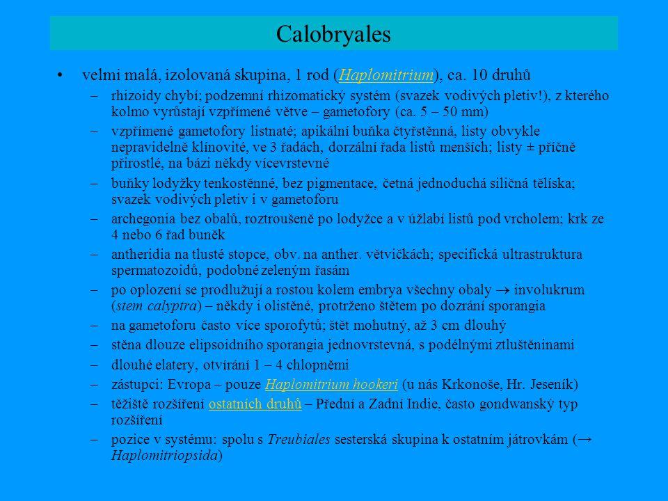 Calobryales •velmi malá, izolovaná skupina, 1 rod (Haplomitrium), ca. 10 druhůHaplomitrium –rhizoidy chybí; podzemní rhizomatický systém (svazek vodiv